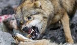 HSUS's America: Where Wolves Eat Family Pets?