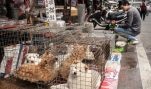 Did HSUS Let Dogs Suffer in China?