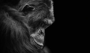 One Year Later, Has HSUS Helped the Chimps?