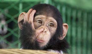 Humane Society Turns Back on Liberia Chimps, Whistleblower Claims