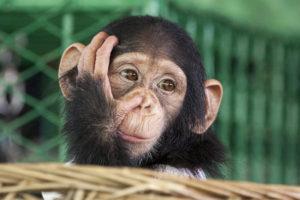 Humane Society Turns Back on Liberia Chimps, Whistleblower Claims