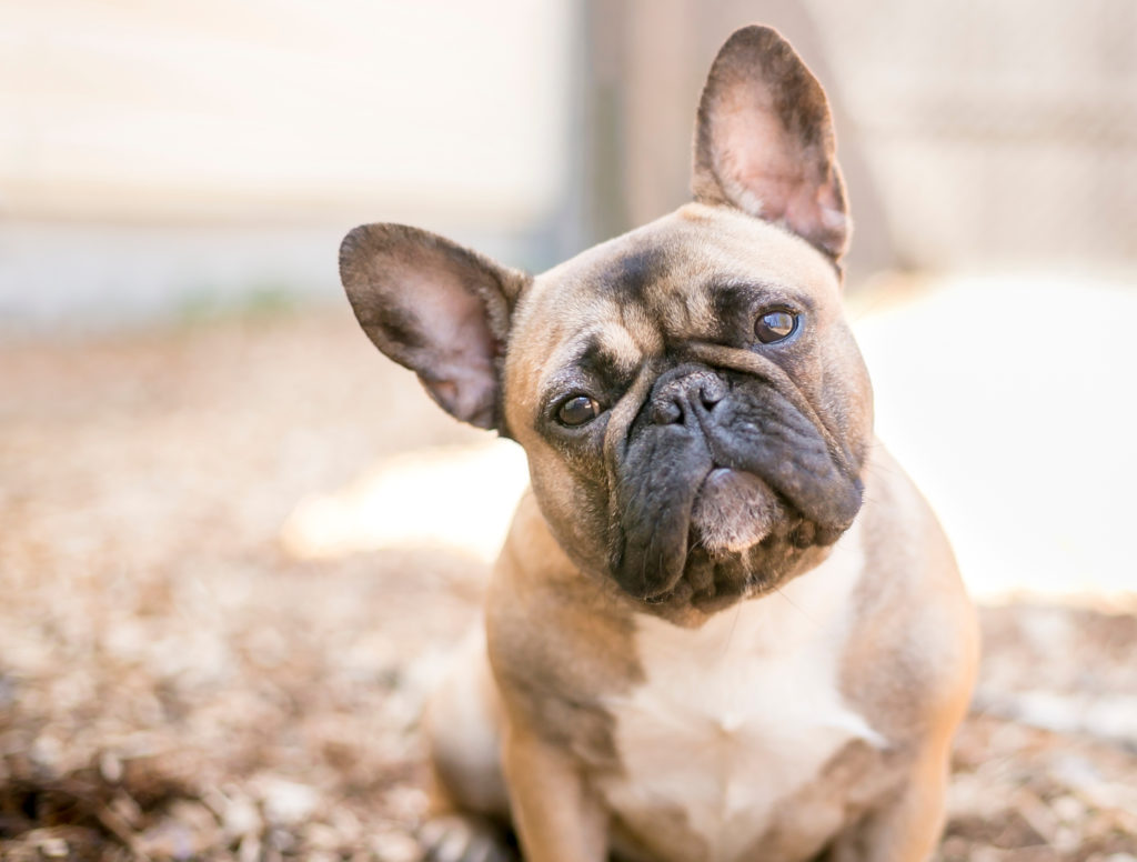 Purebred French Bulldog Rescues?